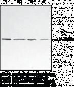 p38 MAPK Monoclonal Antibody (Clone 9F12)