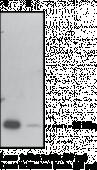 GPx4 Polyclonal Antibody