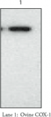 COX-<wbr/>1 (ovine) Polyclonal Antiserum
