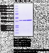 Hsp40 (human recombinant)