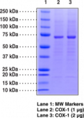 COX-1 (human recombinant)