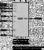 IDH1 (human recombinant)