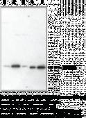 Prostaglandin E Synthase (cytosolic) Polyclonal Antibody