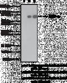 PARP (Cleaved) Monoclonal Antibody