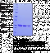 eIF4E (human recombinant)