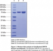 Citrullinated GRP78 (human recombinant)