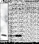 Cellular Retinol Binding Protein 7 Polyclonal Antibody