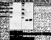 Histone H3 (Citrulli<wbr/>nated R2 + R8 + R17) Polyclonal Antibody