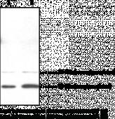 Doppel Polyclonal Antibody