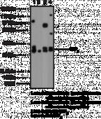 S1P<sub>5</sub> Polyclonal Antibody