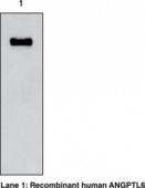 ANGPTL6 (human) Monoclonal Antibody (Clone Kairos-<wbr/>60)