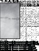 Goat Anti-Renin (human) Polyclonal Antibody