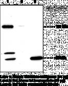 SREBP-<wbr/>2 Polyclonal Antibody