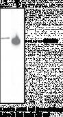 PTEN Polyclonal Antibody