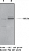 PAF Receptor (human) Polyclonal Antibody