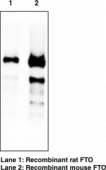 FTO (mouse) Monoclonal Antibody (Clone FT 342-<wbr/>1)