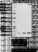 Hsp10 (human recombinant)