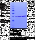 USP2 active domain (human recombinant)