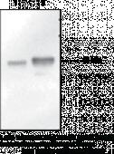 p53 Monoclonal Antibody (Clone BP53-<wbr/>12)