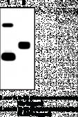 Interleukin-<wbr/>33 (human) Monoclonal Antibody (Clone IL33305B)