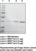 BRDT bromodomain 2 (human recombinant)