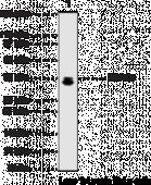 HDAC3 Polyclonal Antibody