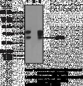 eIF3G Polyclonal Antibody (aa 200-<wbr/>250)