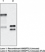 ANGPTL3 (mouse) Monoclonal Antibody (Clone Kairos3-<wbr/>3741)