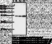 COX-<wbr/>2 (human) Polyclonal Antibody