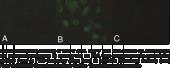 MBOAT5 Polyclonal Antibody