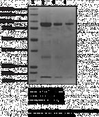 Hsp90? (human recombinant)