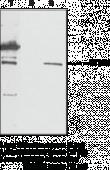 GPR55 Polyclonal Antibody