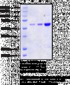 SIRT4 (human recombinant)