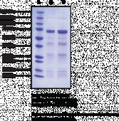 NF-<wbr/>κB (p50) (human, recombinant)