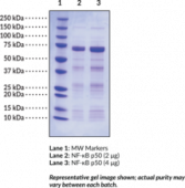 NF-<wbr/>?B (p50) (human recombinant)