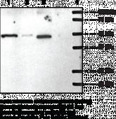 S1P<sub>1</sub> Polyclonal Antibody