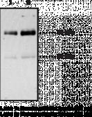 CD36 Polyclonal Antibody