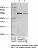 CREB-<wbr/>binding protein bromodomain (human recombinant)