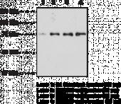 Optineurin (C-<wbr/>Term) Polyclonal Antibody
