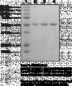 TP53BP1 BRCT domains (human recombinant)