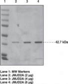 JMJD2A-<wbr/>Strep tagged (human recombinant)