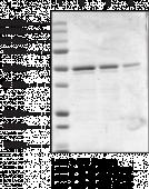eIF4E (human recombinant; GST-<wbr/>tagged)