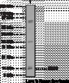 AROS Polyclonal Antibody (aa 1-<wbr/>50)