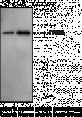 Prostaglandin Transporter (C-<wbr/>Term) Polyclonal Antibody