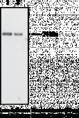 Optineurin (INT) Polyclonal Antibody