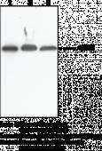 NAPE-<wbr/>PLD (Internal) Polyclonal Antibody