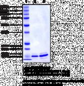 BRD4 bromodomain 1 (human, recombinant; His-<wbr/>tagged)