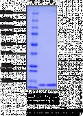 GDF11 (human recombinant)