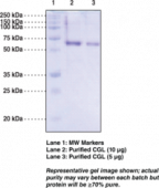 Cystathionine γ-<wbr/>Lyase (human recombinant)