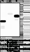 Interleukin-<wbr/>33 Monoclonal Antibody (Clone IL33026B)